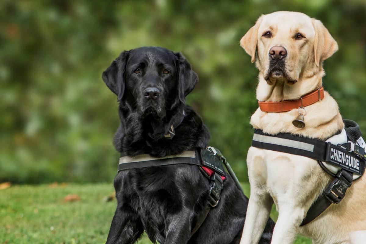 Ausgemusterte Blindenhunde Kaufen