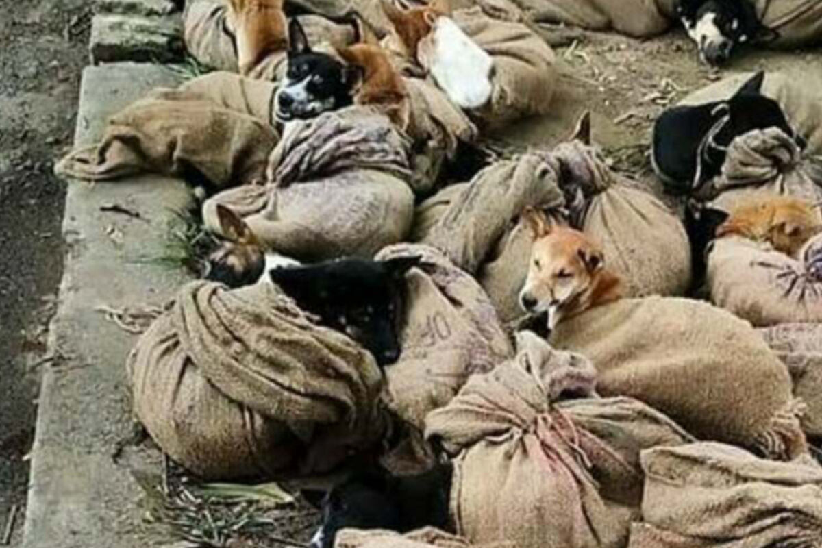 Hundefleisch: So grausam werden die Tiere bis zu ihrem Tod gequält ...