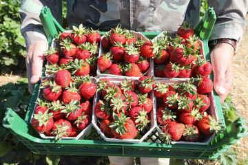 Landwirte ziehen Bilanz: Ebbe bei Spargel, Überschuss bei Erdbeeren