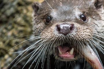 Otter abschießen? Fischer fordern drastische Maßnahme in Bayern