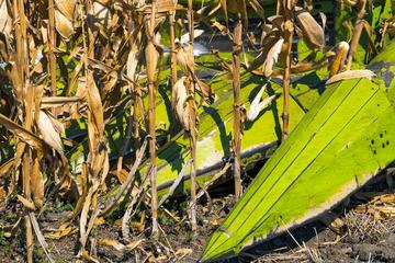 Schrecklicher Arbeitsunfall: Mitarbeiter unter Mais-Schneider eingeklemmt