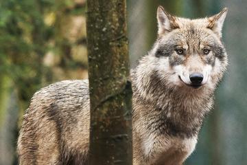 Wölfe: Wolfspaar in Hessen nachgewiesen: Gründen die Raubtiere ein Rudel?