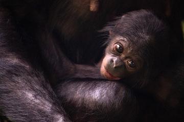 Bonobo-Baby geboren: Seltener Nachwuchs im Kölner Zoo!