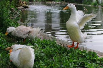 Vom Karton in den Garten: Enten Chip, Chap und Trap hoffen auf ein Happyend