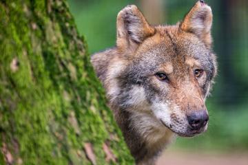 Wölfe: Mitten in Köln: Wolf streift nachts durch die Innenstadt!