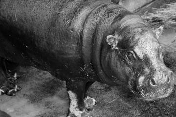 "Große Trauer im Zoo Hoyerswerda: Flusspferd-Lady ""Paula"" ist tot"
