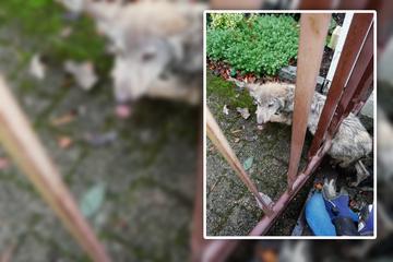 Dresden: In Langebrück verirrt: Junger Wolf bleibt im Zaun stecken