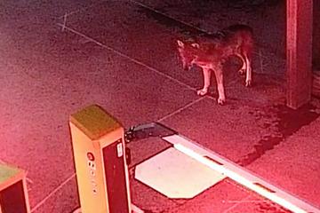 Kölner Wolf kam aus den Alpen und tötete vier Schafe!