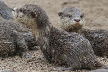 Nachwuchs im Tierpark Hagenbeck: Otter-Babys ärgern Orang-Utans