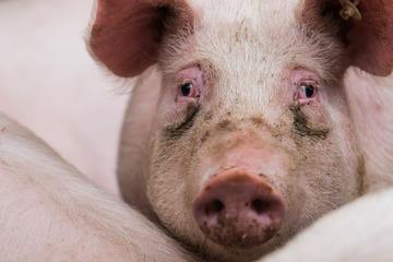 Harz wappnet sich für Kampf gegen Afrikanische Schweinepest