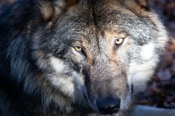 Wölfe: Münchner überfährt Wolf auf Tiroler Autobahn
