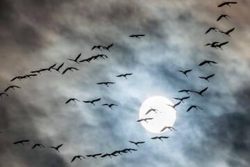 Gefedertes Schauspiel am Himmel: Tausende Kraniche fliegen in den Süden
