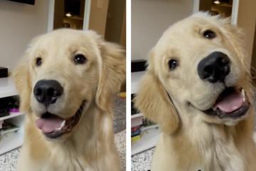 Besitzerin nennt Lieblingswörter ihres Hundes: So ulkig reagiert der Golden Retriever