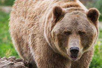 Hiker attacked by grizzly bear in Yellowstone National Park