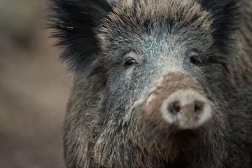 Zug stößt mit Wildschweinrotte zusammen: Sechs Tiere tot