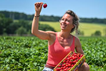 Chemnitz: Endlich sind die Erdbeeren reif: Hier gibt's die süßen Früchte direkt vom Feld
