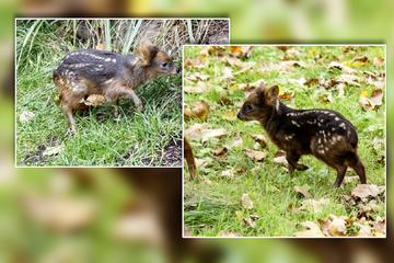 Kleinster Hirsch der Welt: Pudu-Baby Dulce im Kölner Zoo geboren