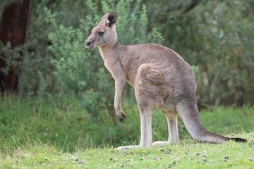 Känguru auf freien Pfoten! Wurde sein Gehege absichtlich geöffnet?