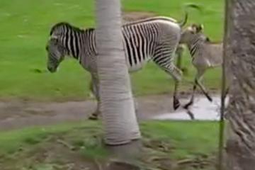 Autsch! Leipziger Zebra-Stute tritt nach Fohlen aus