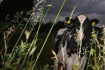 """Wie die Kuh wenn's blitzt: """"Rind trotzt mit Hintern dem Sturm"""""""