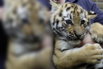 Zoo zeigt besonderen Tiger-Nachwuchs und verrät Geschlecht