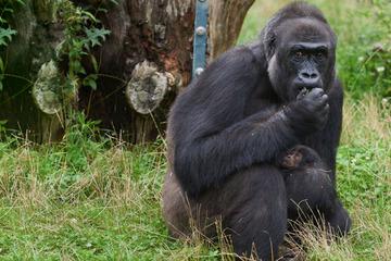 Nach Feuer-Drama im Affenhaus: Nachwuchs bei Gorillas im Krefelder Zoo