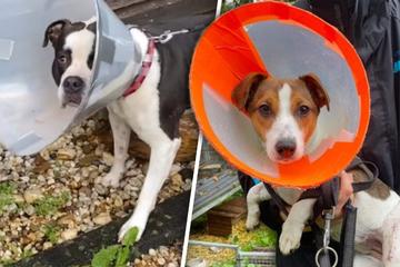 """Süße """"Lampenschirm""""-Hunde haben schweren Leidensweg hinter sich"""