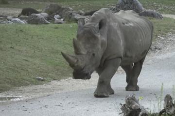 Mit 54 Jahren: Ältestes Breitmaulnashorn im Zoo gestorben