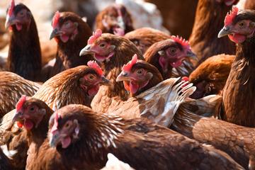 Ausbreitung der Vogelgrippe: So gelangte die Krankheit aus NRW in andere Bundesländer