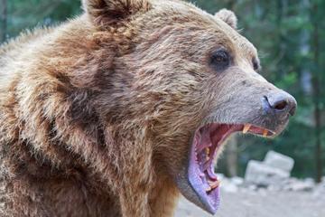 Nach Leichenfund in der Slowakei: Wurde Mann (†57) von Bär getötet?