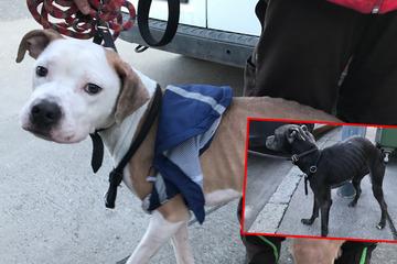 Verwahrloste Hunde knabberten vor Hunger Möbel an