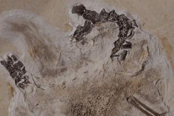 Illegal aus Brasilien herausgebracht? Streit um Dino-Fossil geht weiter