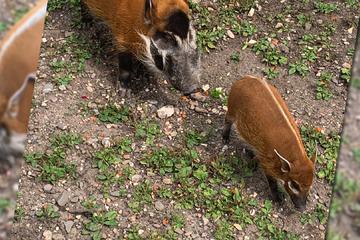 Nachwuchs im Kölner Zoo: Exotisches Schweinchen tollt durch ältestes Gehege