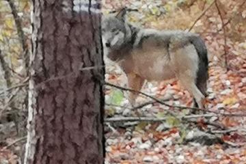 Wölfe: Weiterer wilder Wolf lebt dauerhaft in NRW!