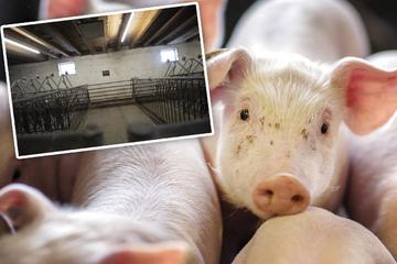 Bauer überlässt Schweine sich selbst: 850 Kadaver liegen jahrelang auf verlassenem Hof