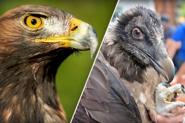 Bartgeier Wally und Bavaria kämpfen sogar mit wildem Adler!