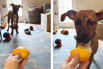 Frauchen hält Hund Zitrone hin: Dessen Reaktion sorgt für richtig viel Gelächter