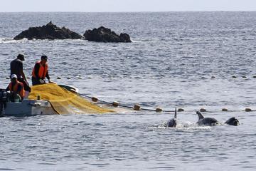 """Brutale Treibjagd auf Delfine: Tierschützer kritisieren """"Blutbucht"""" in Japan"""