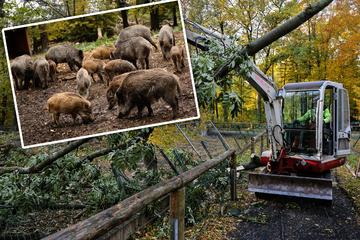 Zu viele Sturmschäden: Gnadenfrist für Moritzburger Schweine verlängert