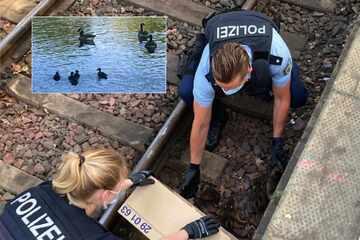 Entenfamilie hockt in den Gleisen, doch dann naht die Rettung