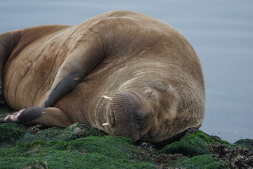 Nur eine Stippvisite? Walross verlässt Nordsee-Insel