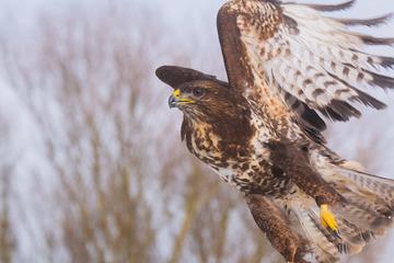 Naturschützer entsetzt: Greifvögel mit Schrot beschossen!