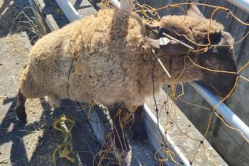 Schaf verfängt sich im Zaun und kommt allein nicht mehr heraus