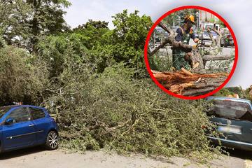Dresden: Baum fällt in Dresden auf geparkte Autos: Feuerwehr rückt mit Kettensäge an