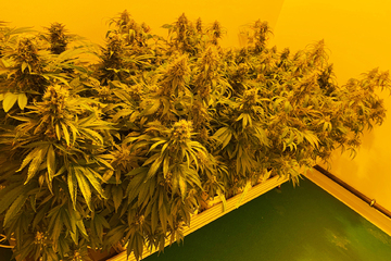 In sächsischer Cannabis-Fabrik startet der Probebetrieb