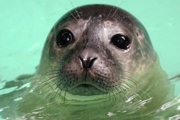 "Duisburger Zoo trauert um Seehund-Dame ""Oma"""