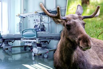 Überraschender Besuch: Elch stattet Patienten im Krankenhaus Besuch ab