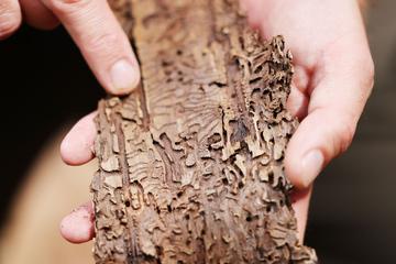 Waldsterben in NRW: Kampf gegen Borkenkäfer-Plage geht weiter