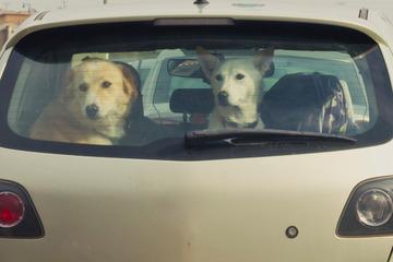 Besitzer lässt Hunde bei Hitze im Auto: Anzeige!