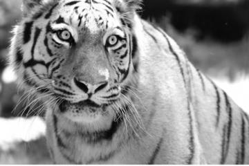 Zoo Hoyerswerda trauert: Mit dem Tod von Irina endet die Haltung der Raubtiere
